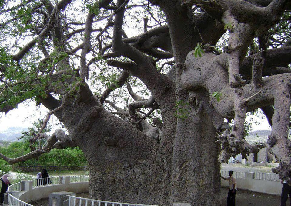 شجرة الغريب في اليمن